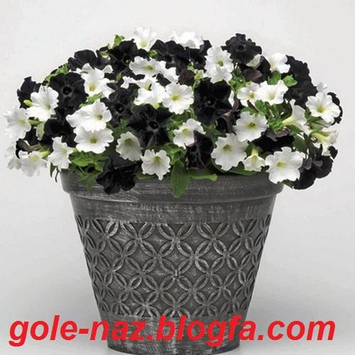ترکیب رنگ اطلسی زیباترین خلقت خدا - گل اطلسی سیاه