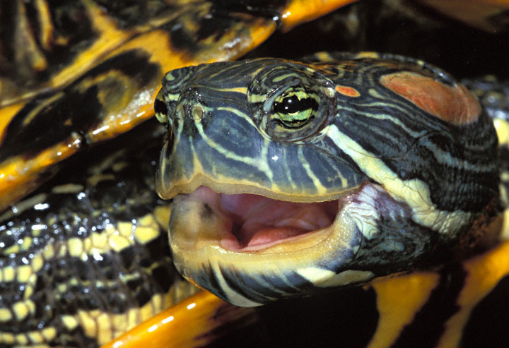 Red_eared_Slider_F3.jpg