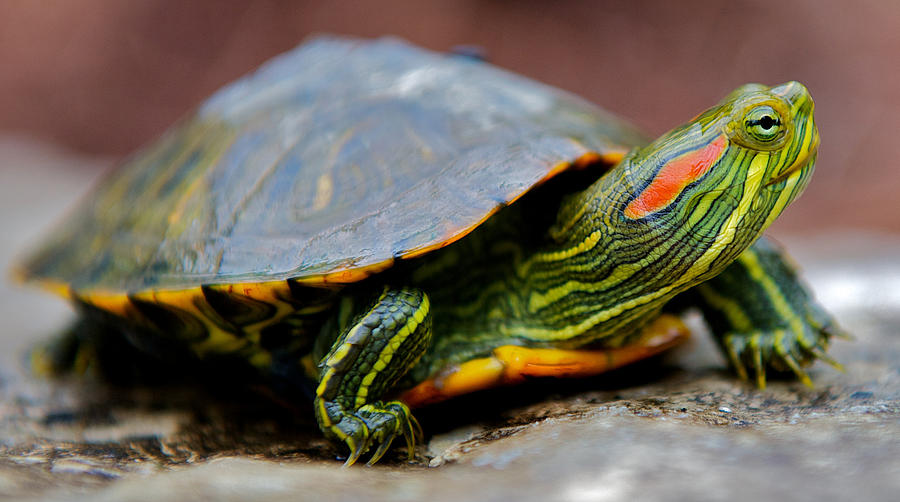 red_eared_slider_turtle_side_view_kelly_