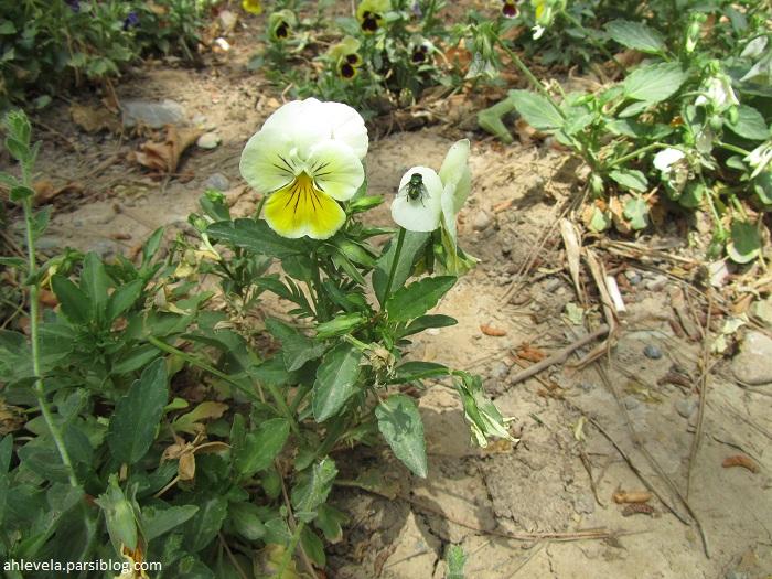 گل زرد و سفید