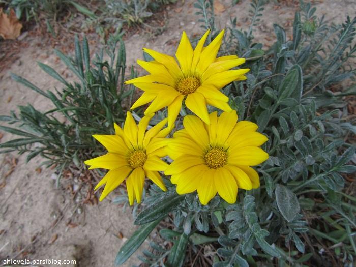 سه گل زرد