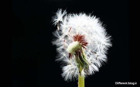 عکس + عکس گل + عکس طبیعت + قاصدک + قاصدک سفید + کیفیت عالی + گلبرگ + dandelion + hd