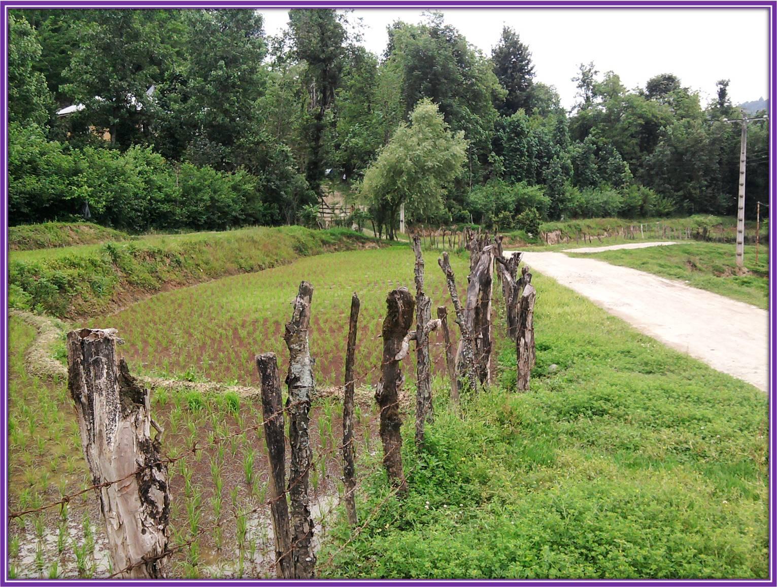 عکس از مزارع تم در ابتدای راه کشت در روستای شولم
