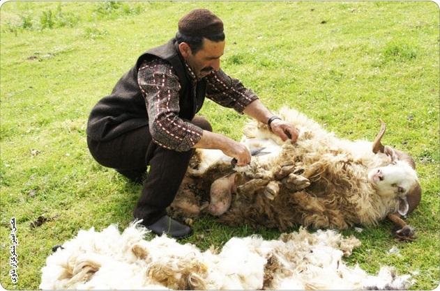 زدن پشم گوسفندان