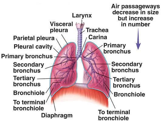 دستگاه تنفسی انسان