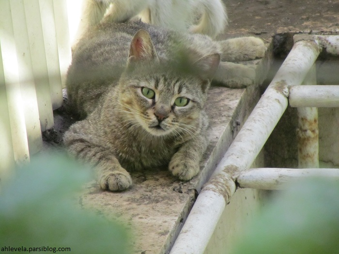 گربه-مامان