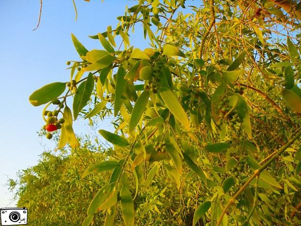 درخت پیر. توج. شجره المسواک