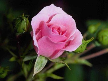 http://s4.picofile.com/file/7826365264/1_Roses_05.jpg