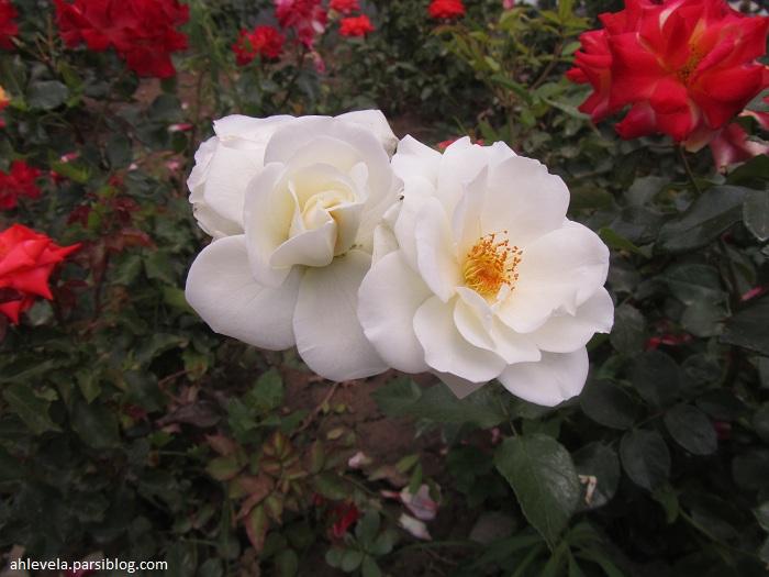 دو گل سفید
