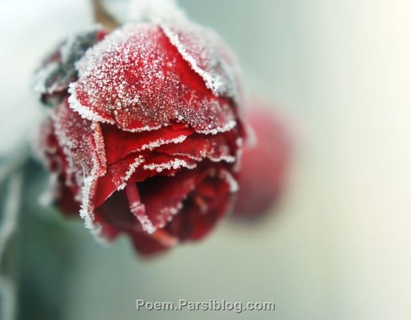 شگفتی خلق خواهم کرد مانند ِ درختی که شکوفه می دهد او در زمستان ... هرچه بادا باد