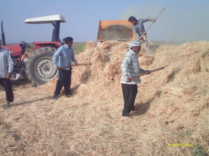 خرمن کوبی روستای چشام