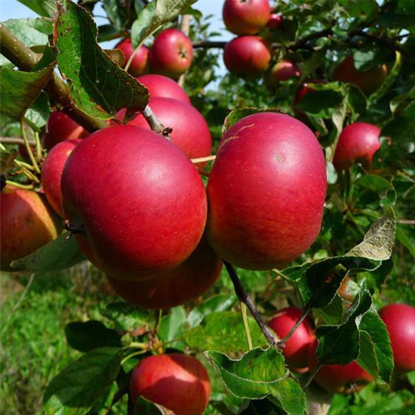 عکس های درختان سیب قرمز تصاویر باغ سیب - دانلود عکس عکسهای ...