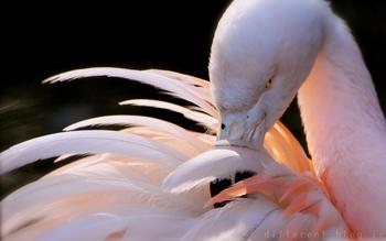 فلامینگو + عکس + پرنده + سفید + پرواز + bird + flamingo + hd