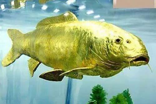 مطالب داغ: عجیب ترین ماهی دنیا که پوستش از طلاست