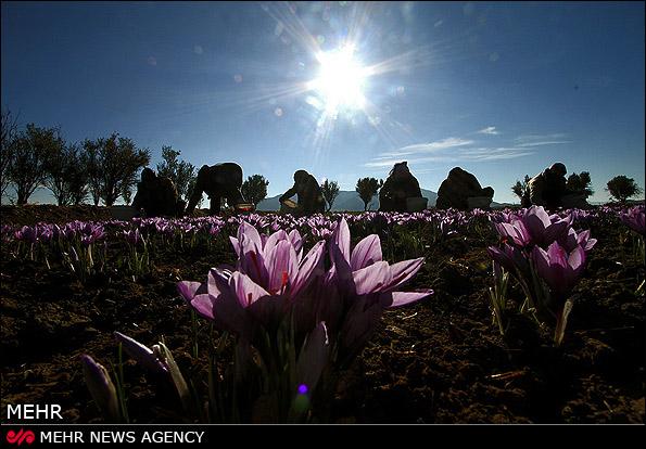 روایت مصور: برداشت طلای سرخ کویر در خراسان