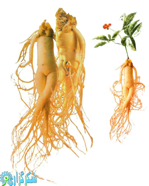 جینسینگ گیاه دارویی عکس ریشه خاصیت فواید مضرات بدی ها درباره