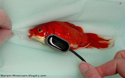 جراحی گران قیمت ماهی قرمز
