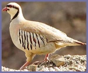 پرنده کبک از نظر ویکی پدیا چیست