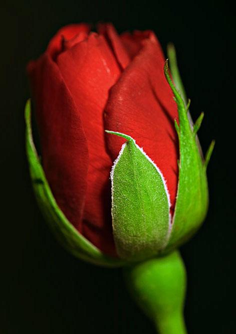 فندق گل رز http://afghanistan-girl.blogsky.com/1392/01/12/post-63/Pictures-of-beautiful-flowers