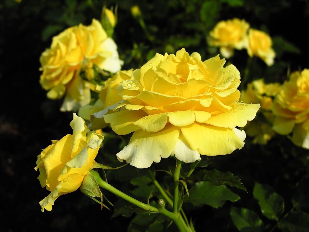 گل رز زرد و قشنگ http://d-bedary.blogfa.com/post/453