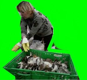 آموزش پرورش قارچ برداشت قارچ در سه مرحله انجام میگیرد