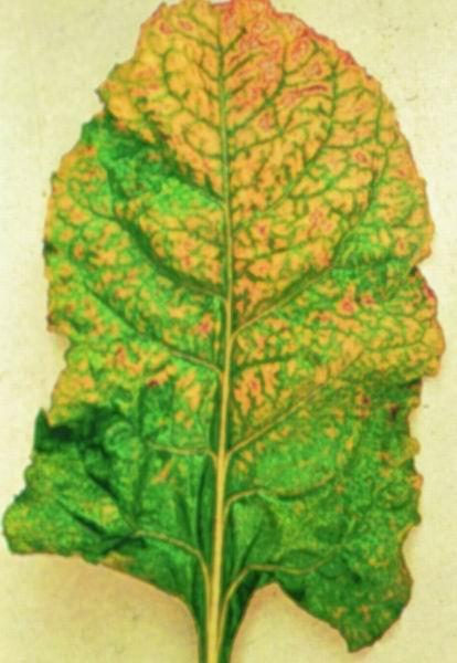 علائم کمبود منگنز در گیاه