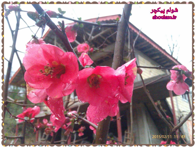 شکوفه درختان در سرمای زمستان 93