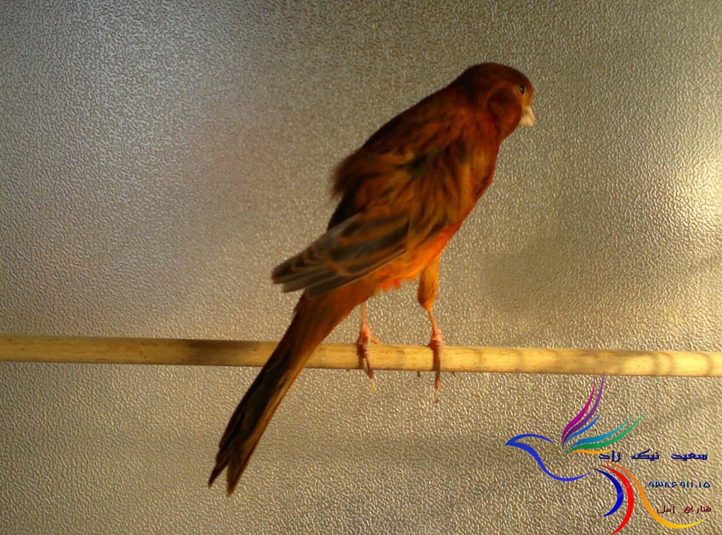 قناری سعید نیک زاد - saeed nikzad canary