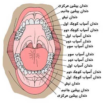 نام گذاری دندانها