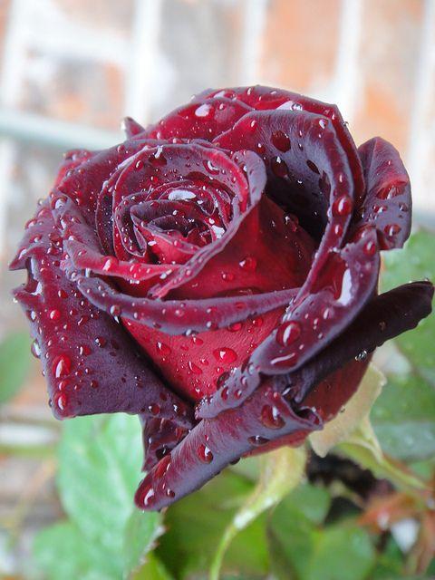 عکس زیباترین گل طبیعی دنیا