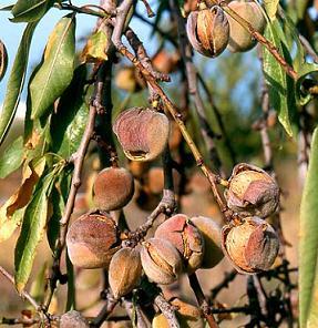 معرفی بادام با نام علمی Prunus amygdalus