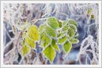 تصاویری زیبایی از گیاهان یخ زده