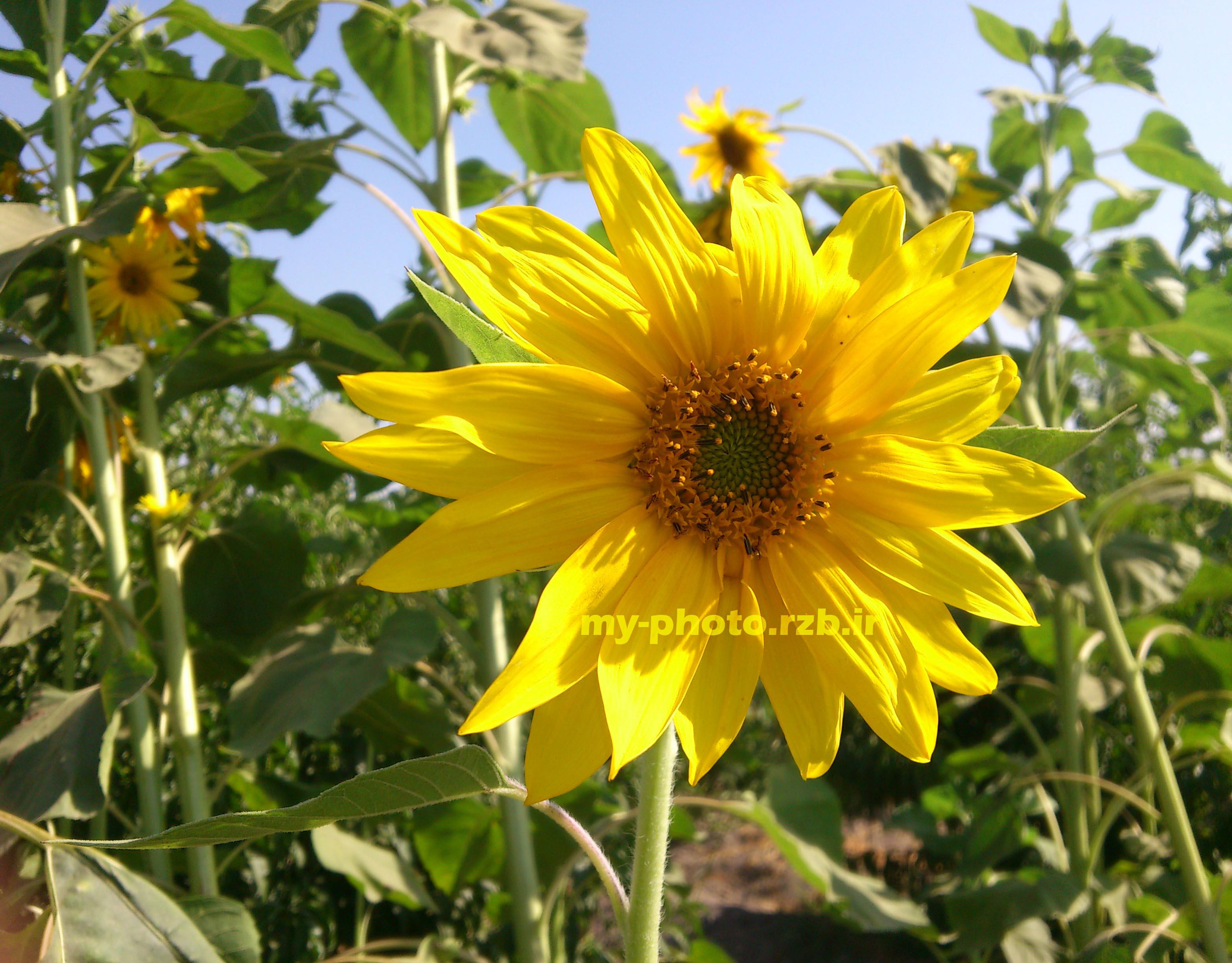 عکس11:«گل آفتابگردان»
