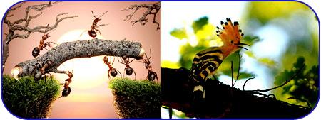 هدهد و مورچه