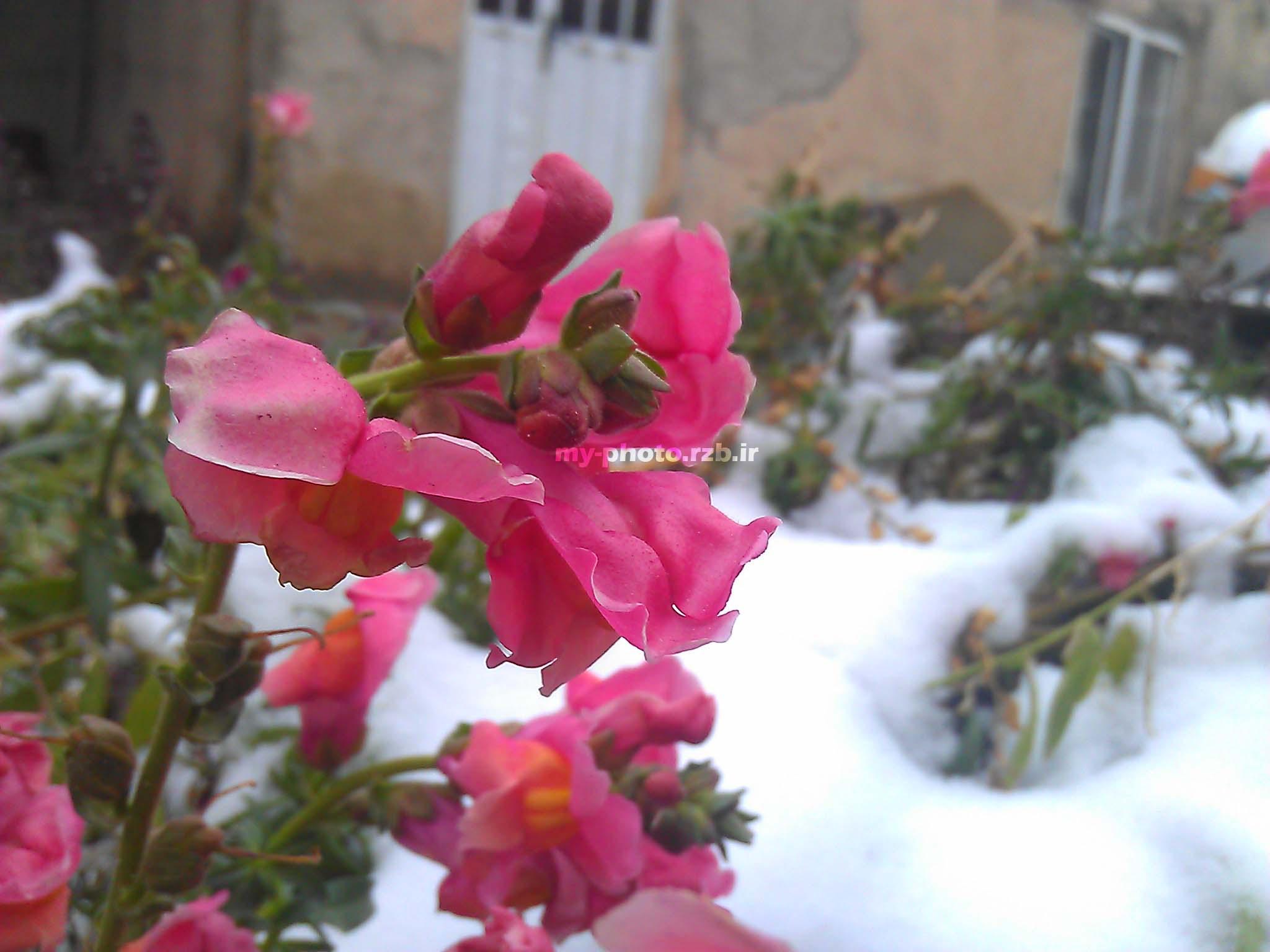 عکس16:«گل و برف»