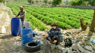 کشاورزی برادران حسین پور در روستای هلک کازرون 11 اردیبهشت94