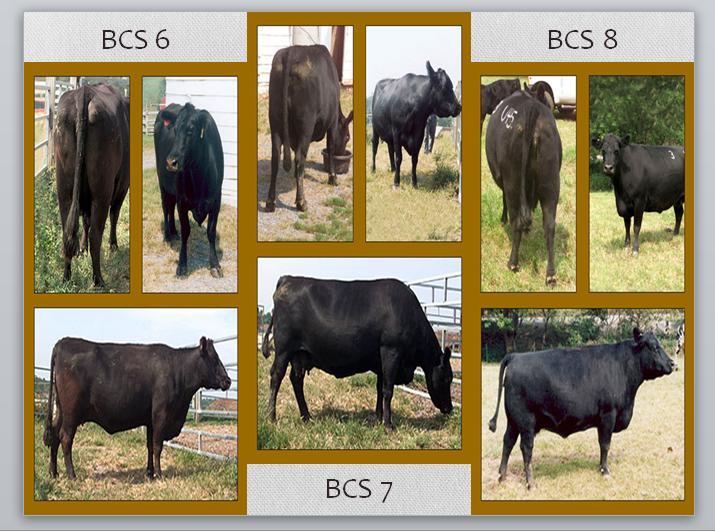 دانلود مقاله ارزیابی گاو شیری و گاو گوشتی ppt پاورپوینت ، دانلود رایگان مقاله ارزیابی گاو شیری و گاو گوشتی ppt پاورپوینت ، ارزیابی کیفیت گاوهای شیر ده دانلود مقاله ارزیابی گاو شیری و گاو گوشتی ( پاورپوینت)