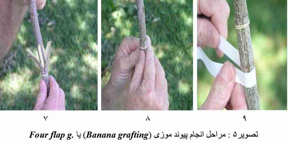 مراحل انجام پیوند موزی (Banana grafting) یا Four flap g. در گردوی پکان