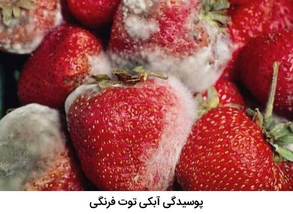 بیماری پوسیدگی آبکی توت فرنگی