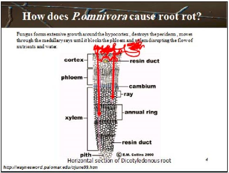 نمای شماتیک بیماری پوسیدگی ریشه پنبه