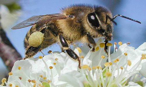 زنبورها هم به تغذیه از گوشت احتیاج دارند