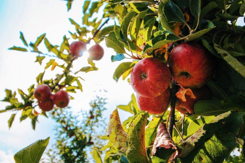 سیب برای خوانندگان