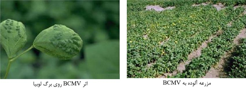 ویروس موزائیک معمولی لوبیا (BCMV) Bean common mosaic virus
