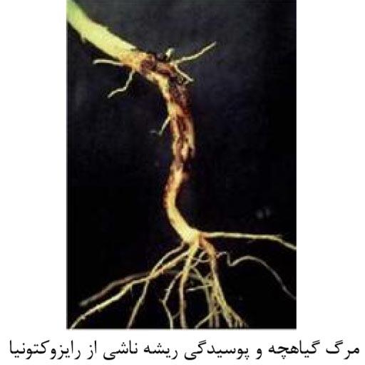 مرگ گیاهچه لوبیا و پوسیدگی ریشه ناشی از رایزوکتونیا